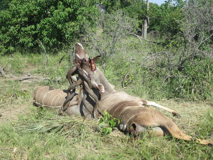 kudu death