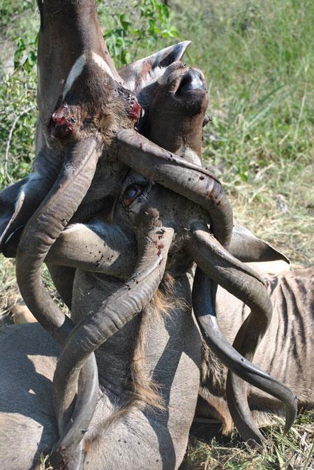 kudu fight death