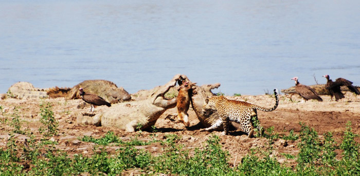 leopard attempts to steal food