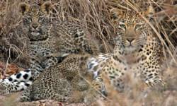 leopard cubs safari