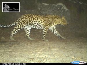 leopards camera trap