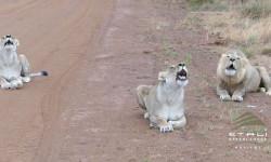 lion choir etali madikwe