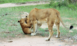 lion cub playing with its big brother