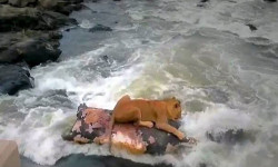 lion-hippo