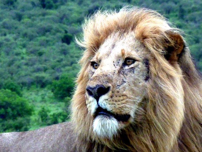 lion-maasai-mara