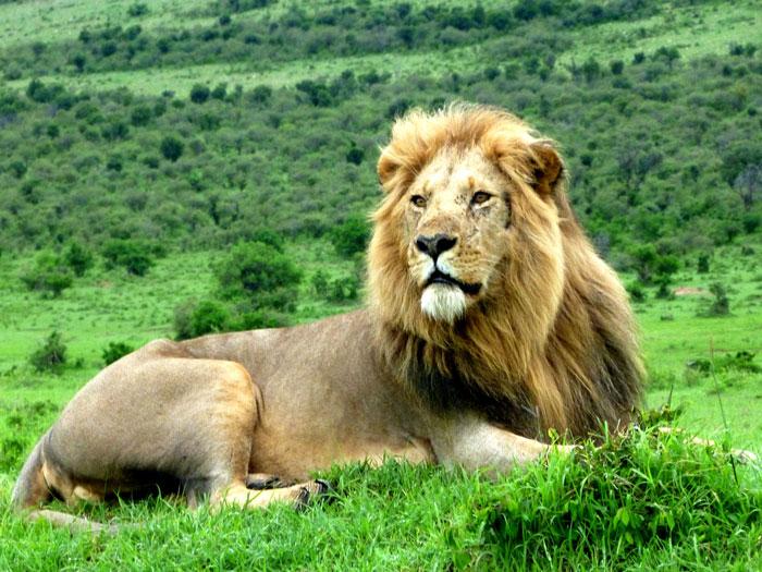 lion-mara