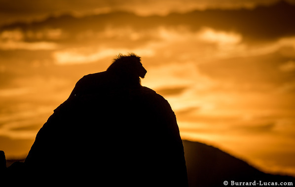 A lion on his rock, silhouetted at sunset. Kidepo Valley, Uganda.