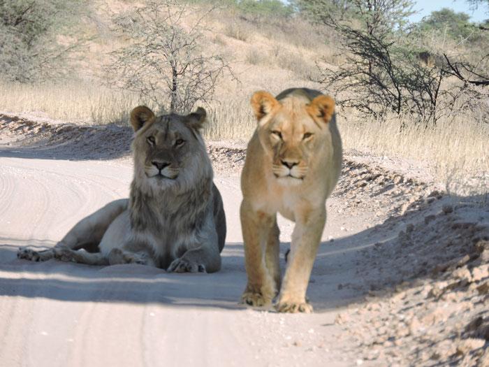 lioness kgalagadi