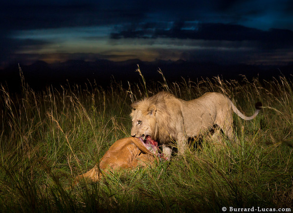 Lion with his kill in the long grass, Kidepo Valley, Uganda.