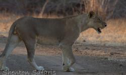 mane-less lion