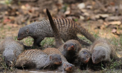 mob of mongooses