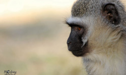 monkey helpline