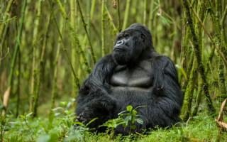 mountain-gorilla-rwanda