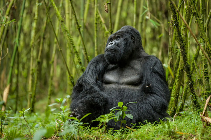 How tourism helps the gorillas of Rwanda - Africa Geographic