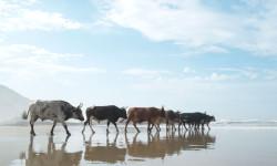 pondo cows