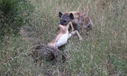 hyena steals impala from python