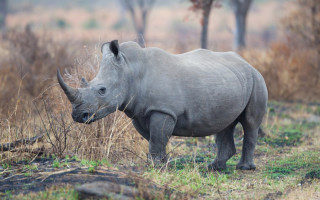 Rhino taken by Conservation Action Trust
