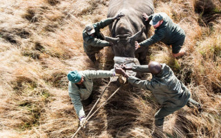 Relocating a white rhino from South Africa to Texas
