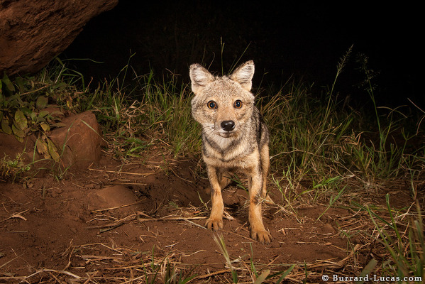 Side-striped Jackal photographed with camera trap in Uganda