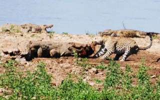 one eyed leopard takes on crocodiles