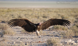 lappet-faced vulture joins in feast