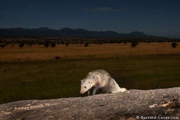 White-tailed mongoose, Kidepo Valley, Uganda