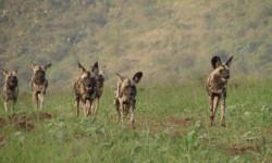 wild-dog-zululand-rhino-reserve