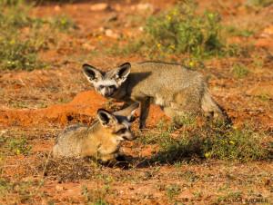 Bat-eared fox in Limpopo-Lipadi