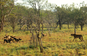 Wild dogs close in on cheetahs