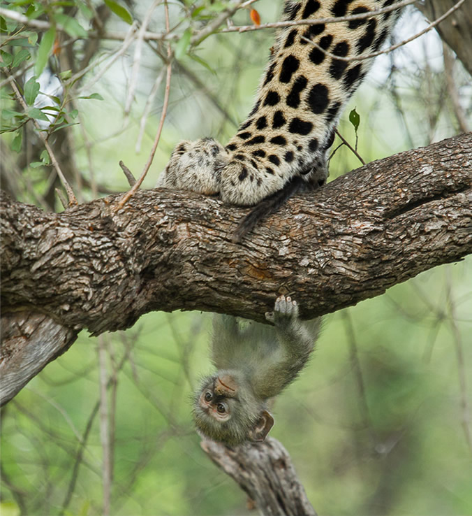 Chris-Renshaw-KrugerNP-monkey-and-leopard2
