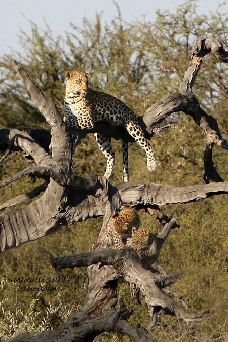 Leopards in tree