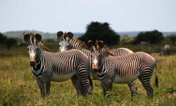 Laikipia zebras
