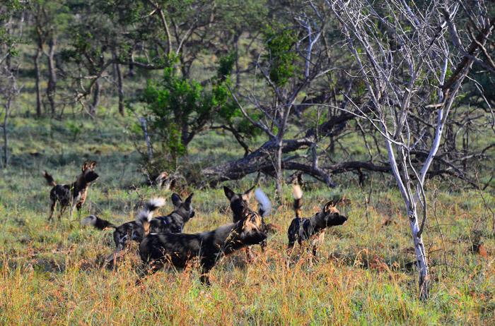 six wild dogs