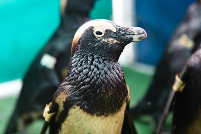 african penguin oil spill