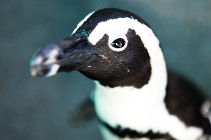african-penguin-sanccob