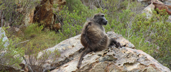Baboon in Kogelberg Nature Reserve