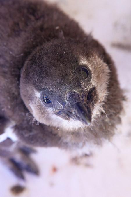 baby-african-penguin