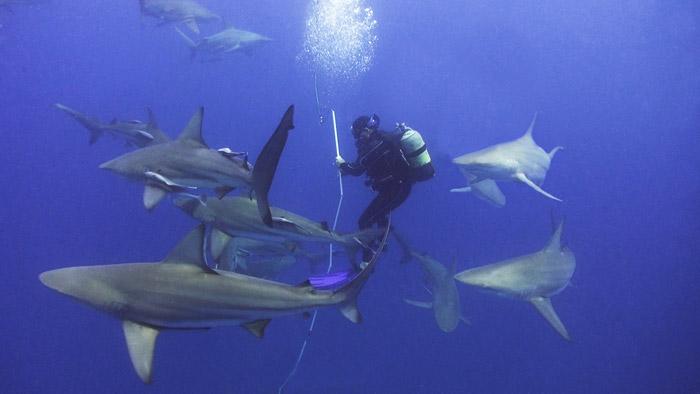 bart-videography-diving-sharks-in-aliwal-shoal