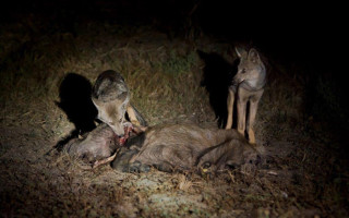 Jackals devouring bushpig's carcass