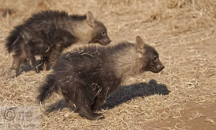 hyena pups race
