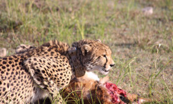 Collared cheetah release