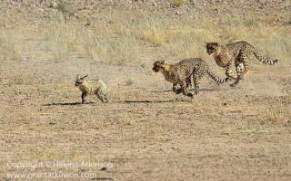cheetah-chasing-fox