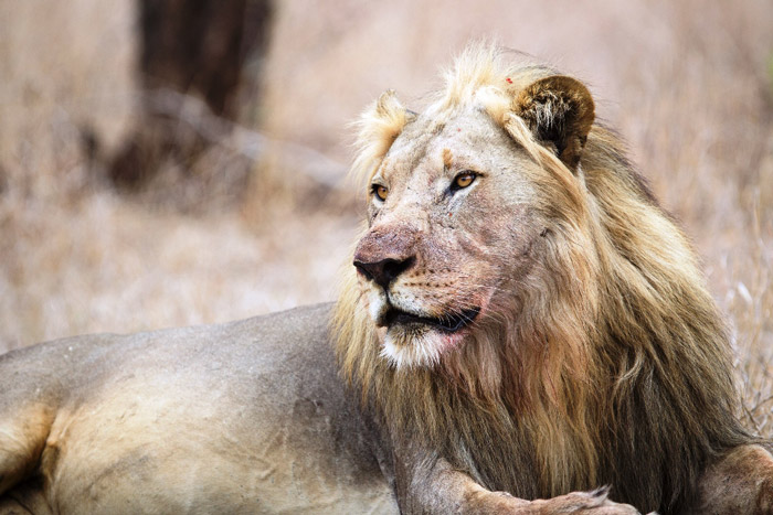 Chimwala - one of the male relocated lions