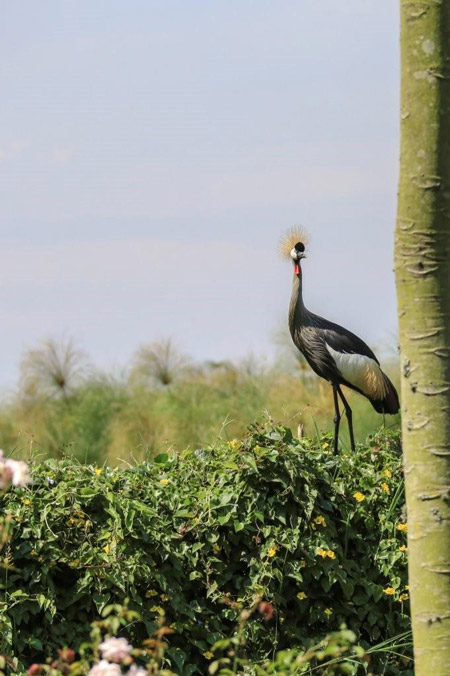 Grey crowned crane on top of hedge