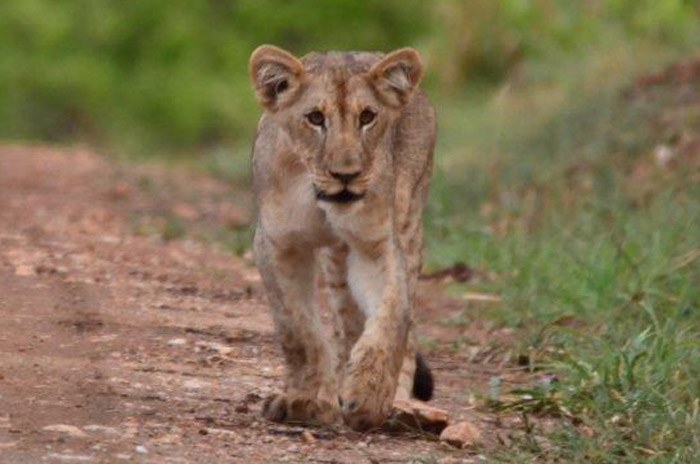 One of Shire's lion cubs