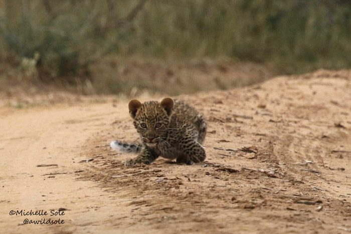 A little leopard cub in the road