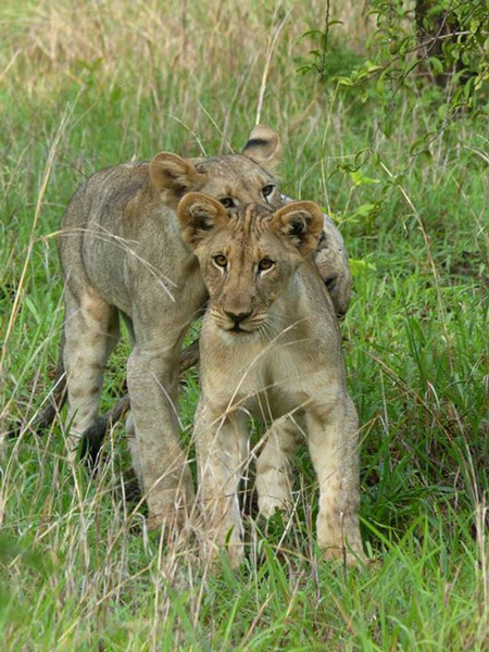 Lion cubs - one female, one male