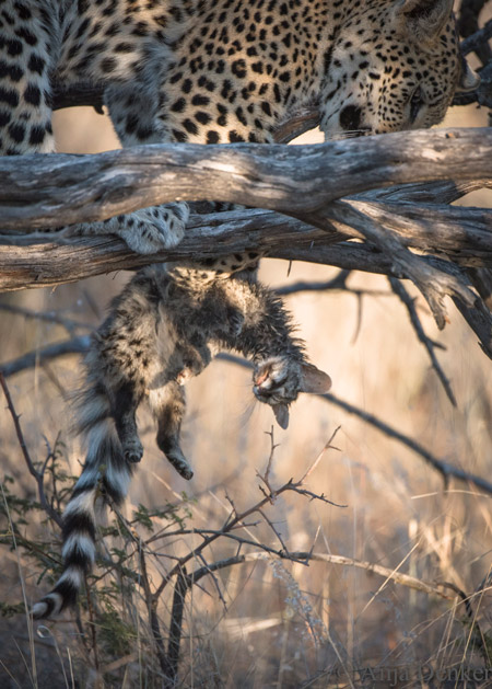 leopard playing with genet
