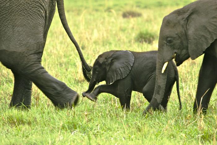 Baby elephant tails its mum
