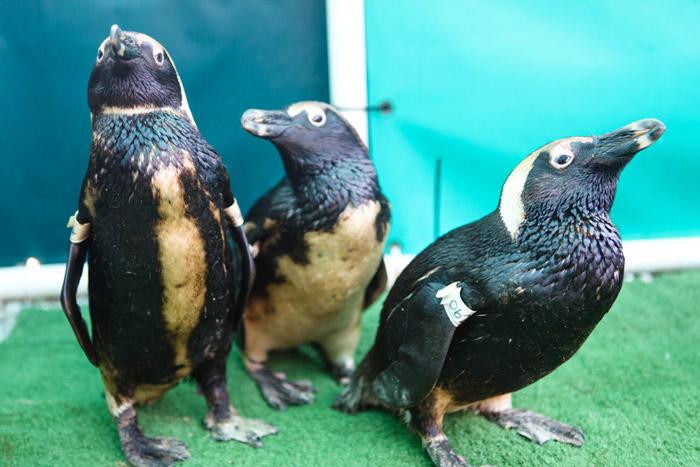 endangered african penguin oil spill